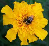 image of gadfly  - Gadfly on yellow flower - JPG