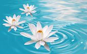 three fresh pure white waterlilies floating on clear blue water