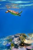 image of coral reefs  - Green turtle and coral in ocean at Great Barrier Reef - JPG