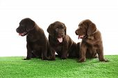 Chocolate Labrador Retriever Puppies On Green Grass Against White Background poster