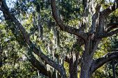 Spanish Moss Draped Over Oak Limbs In A Massive Live Oak Tree poster