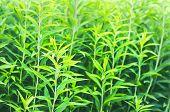 Green Stems Of European Goldenrod, Solidago Virgaurea, Or Woundwort In Midsummer. A Garden Flower Wi poster
