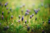 Grape Hyacinths. Spring Muscari Armeniacum Flowers In Sunshine On A Blurred Background. poster
