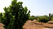 Laurel Shrub Or Bay Tree. Blue Sky On The Background. poster