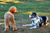 picture of cockapoo  - Two canine pals playing in the grass - JPG