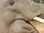 Elephant Closeup. Tusk. Fragment. African Bush Elephant (loxodonta Africana), Also Known As The Afri poster