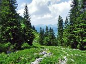 Trees And Evergreen Forests On The Slopes Between The Alvier Mountain And Seeztal Valley - Canton Of poster