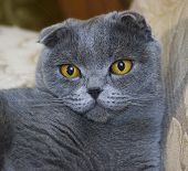 Close-up Beauty Portrait Of Grumpy Cat Of Scottish Fold Breed On Isolated, Small Ears And Round Head poster