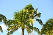 Cocos Nucifera Coconut Palm Tree Tops And Crowns Against Clear Blue Sky In A Tropical Location. Trop poster