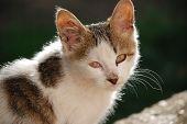 European Domestic Cat kitten poster