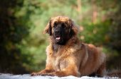 huge red leonberger dog outdoors