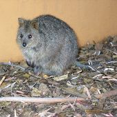 picture of quokka  - closeup of quokka with baby - JPG