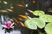 foto of long-fish  - Lily Pad Leaf and Pink Flower Floating in Koi Fish Pond - JPG