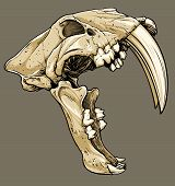 stock photo of saber  - Vector illustration of an isolated saber tooth tiger skull profile view - JPG
