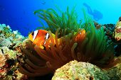 foto of coral reefs  - Red Sea Anemonefish with silhouette of Scuba Diver in background - JPG