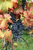 Wine grape Pinot noir