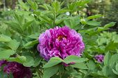 image of rare flowers  - Peony is China - JPG