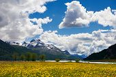 Flower field landscape in Alpine mountains of Switzerland or Italy