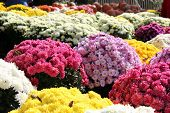 pic of mums  - sea of colorful fall mums for sale at a market - JPG
