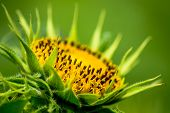 stock photo of dwarf  - Dwarf Sunflower or Helianthus annuus L. Dwarf Sungold in the garden