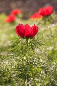 foto of steppes  - Close up of Steppe Peony on meadow - JPG