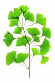 image of naturopathy  - Branch with fresh green leaves in the spring of the ginkgo tree  - JPG