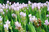stock photo of curcuma  - Curcuma alismatifolia Siam tulip or summer tulip  - JPG
