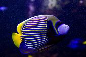 stock photo of angelfish  - a beautiful colored angelfish swimming in the sea - JPG