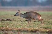 stock photo of pee  - Photo of peeing roe deer in a field - JPG