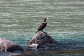 pic of gang  - Single duck gazing the water on the Ganges River - JPG