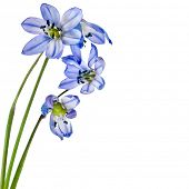 stock photo of cowslip  - spring flower scilla snowdrop isolated on white background - JPG