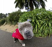 image of pitbull  - Extreme close up image with a fish eye lens used to distort of a blue nose pitbull wearing her holiday sweater - JPG