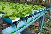 image of butter-lettuce  - the Butter head vegetable in hydroponic farm