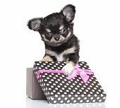 picture of chiwawa  - Chihuahua puppy sitting in gift box on white background - JPG