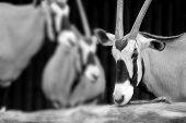 picture of roebuck  - The scimitar oryx or scimitar - JPG