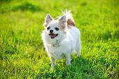 image of chiwawa  - joyful Chihuahua dog on green lawn background in evening light - JPG