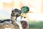stock photo of crested duck  - Great ducks in a village street summer - JPG