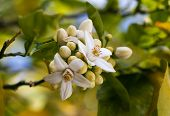 pic of orange-tree  - Orange blossoms grace a valencia tree in early spring. Orange flowering branches with blue sky background.