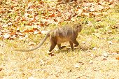 stock photo of macaque  - Long tailed macaque  - JPG