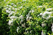 picture of meadowsweet  - view of bushes blooming white spiraea in garden