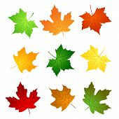 stock photo of canada maple leaf  - Colorful maple leaves collection isolated on white background - JPG