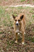 stock photo of stray dog  - Stray dog pooch who lives in the Chernobyl exclusion zone  - JPG