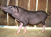 image of pot-bellied  - Little black pig is look side view Focus on the head