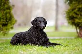 picture of coat  - curly coated retriever dog posing outdoors in spring - JPG