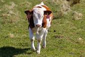 stock photo of calves  - little calf running out in the corral - JPG