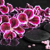 image of geranium  - beautiful spa setting of blooming dark purple geranium flower and beads on reflection dark water closeup - JPG