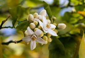 stock photo of valencia-orange  - Orange blossoms grace a valencia tree in early spring. Orange flowering branches with blue sky background. ** Note: Soft Focus at 100%, best at smaller sizes - JPG