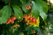 Close Up Of Bunches Of Red Berries Of A Guelder Rose Or Viburnum Berries Shrub. poster