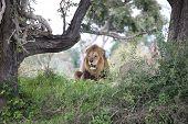 Lion Wild Dangerous Mammal Africa Savannah Kenya poster
