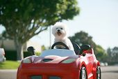 Постер, плакат: Dog car ride  Dog enjoys a ride in a pedal car Fifi the Bichon Frise takes her Red Hot Rod Pedal